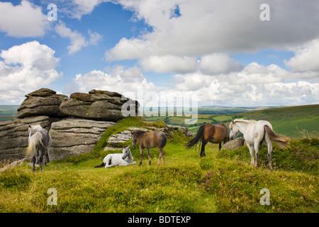Dartmoor pony herd by Bell Tor, Dartmoor National Park, Devon, England. Summer (July) 2008 - Stock Photo