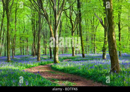 Footpath through carpet of bluebells wildflowers in the beech woodland at West Woods, Lockeridge near Marlborough, - Stock Photo
