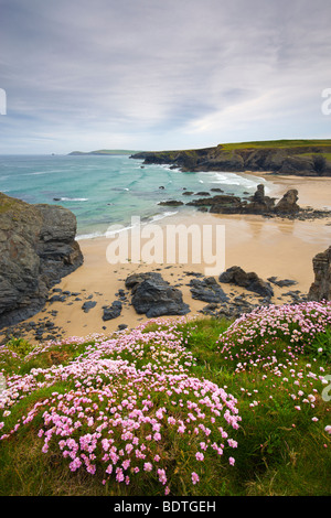 Sea Thrift growing on the Cornish clifftops above Porthcothan Bay, Cornwall, England. Spring (May) 2009 - Stock Photo