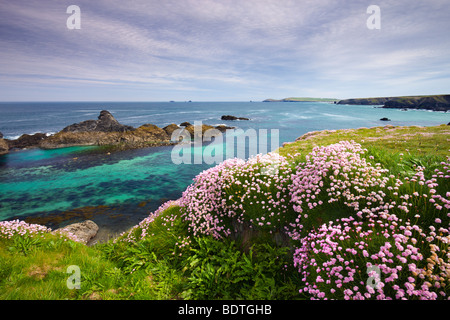 Sea Thrift growing on the Cornish clifftops near Porthcothan Bay, Cornwall, England. Spring (May) 2009 - Stock Photo