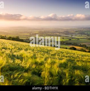 Golden ripened barley growing in a field in rural Devon, England. Summer (June) 2009 - Stock Photo