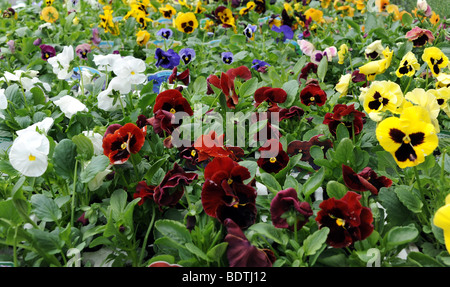 Display of Pansies pansy flowers in full bloom latin name viola tricolor - Stock Photo