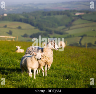 Ewe and lamb in a field in Devon, England. Summer (June) 2009 - Stock Photo