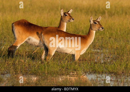 Pair of female Red Lechwe antelopes standing alert looking together  ears raised  in marsh of Okavango Delta, Botswana - Stock Photo