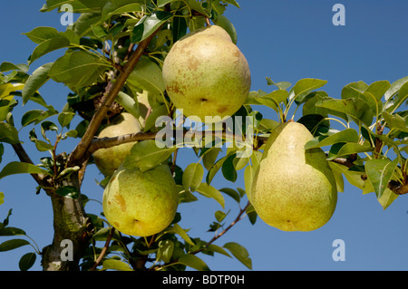 pears on a tree birnen am baum stock photo royalty free. Black Bedroom Furniture Sets. Home Design Ideas