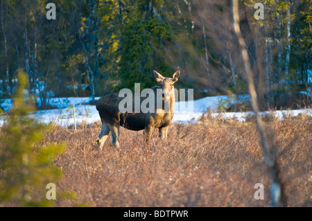 elch in freier wildbahn, alces alces, lappland, norrbotten, schweden, elk in the wild, lapland, sweden - Stock Photo