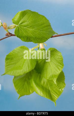 Large-leaved Lime, leaves, Tilia platyphyllos, Sommer-Linde, Blaetter - Stock Photo