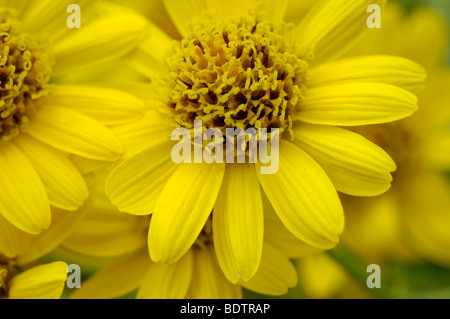 Mountain Arnica (Arnica montana) Echte Arnika - Stock Photo