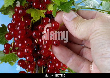 Red Currant berries, Ribes rubrum, Rote Johannisbeeren - Stock Photo