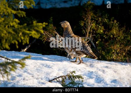 auerhuhn im winter, tetrao urogallus, auerhenne, lappland, norrbotten, schweden, female capercailye, lapland sweden - Stock Photo