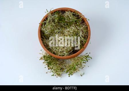 Alfalfa, fresh sprouts, Medicago sativa, Luzerne, frische Sprossen, Sprossen, Keimlinge, - Stock Photo