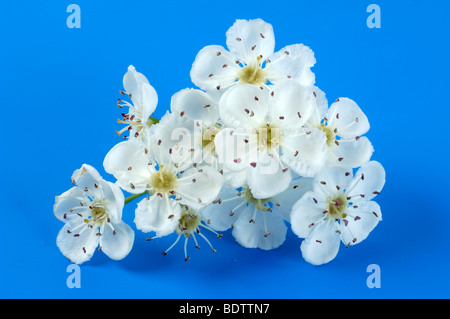 Hawthorn blossom, Crataegus monogyna, Homoeopathie, Herzmedizin, Naturheilkunde, Herzmittel - Stock Photo