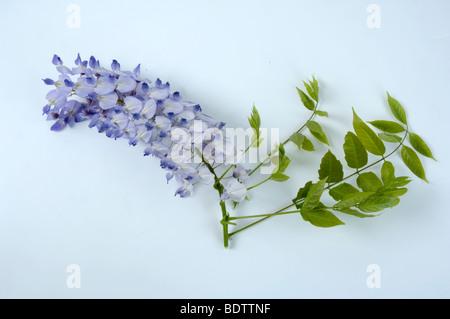 blauregen wisteria sinensis stock photo royalty free. Black Bedroom Furniture Sets. Home Design Ideas