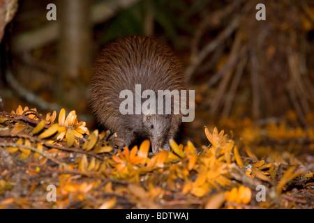 Brown Kiwi, Apteryx australis, adult, Kauri forest. Trounson Kauri Park Scenic Reserve, Northland, North Island, - Stock Photo