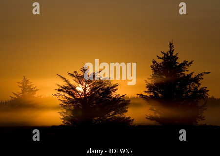 Rotfichten im Morgenlicht, Norway Spruce in the morning sun (Picea abies) - Stock Photo