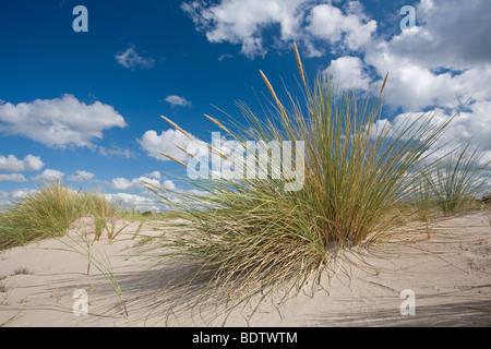 Gemeiner Strandhafer auf Sandduene, Marram on sand dune (Ammophila arenaria) - Stock Photo