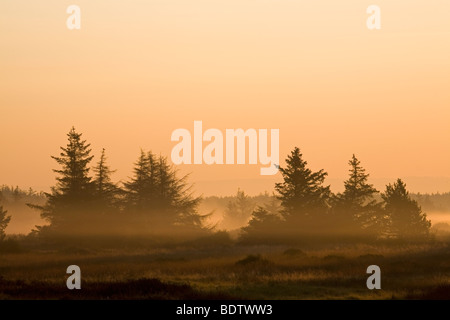 Rotfichten im Morgenlicht / Norway Spruce in the morning sun / Picea abies - Stock Photo