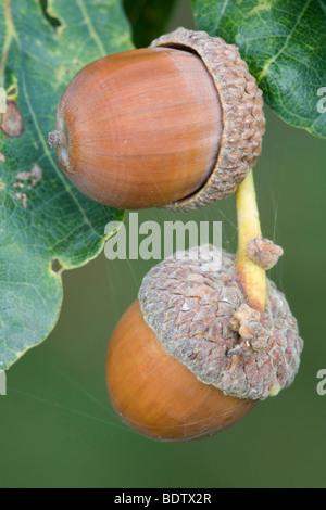 Eicheln - Fruechte der Stieleiche / Acorns - fruits from Pedunculate Oak / Quercus robur - (Quercus pedunculata) - Stock Photo