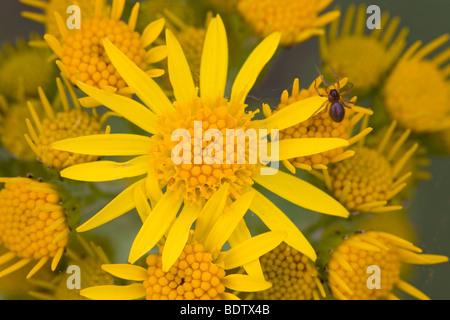 Jakobs-Greiskraut / Ragwort - (Stinking Willie) / Senecio jacobaea - (Jacobaea vulgaris) - Stock Photo