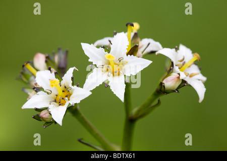Fieberkleegewaechs - (Dt.Name unbekannt) / Deer Cabbage -(Deercabbage) / Nephrophyllidium crista-galli - Stock Photo