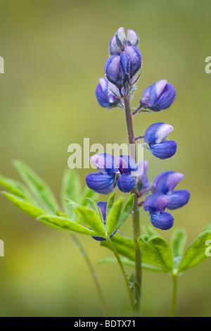 Alaska-Lupine / Nootka Lupine / Lupinus nootkatensis - Stock Photo