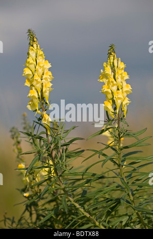 Echtes Leinkraut / Butter and Eggs - (Common Toadflax) / Linaria vulgaris - Stock Photo