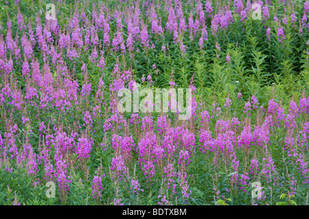 Schmalblaettriges Weidenroeschen / Fireweed - (Blooming Sally) / Chamerion angustifolium - (Epilobium angustifolium) - Stock Photo
