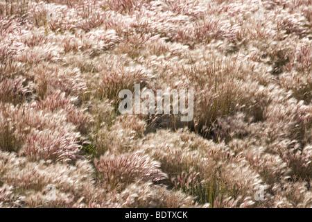 Maehnen-Gerste / Foxtail Barley / Hordeum jubatum - Stock Photo