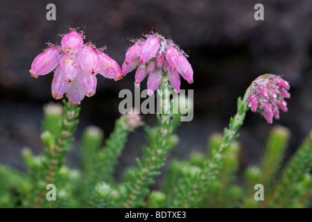 Glocken-Heide - (Moor-Glockenheide) / Cross-leaved Heath - (Bog Heather) / Erica tetralix Stock Photo