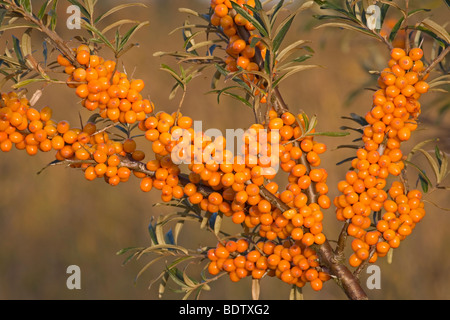 Gemeiner Sanddorn / Sea Buckthorn / Hippophae rhamnoides Stock Photo