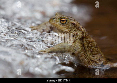 Erdkroete an Eiskante, Common Toad at sheet of ice (Bufo bufo) - Stock Photo
