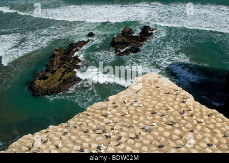 The Gannet breed on steep cliffs partly even off-shore, Muriwai Regional Park, Auckland, North Island, New Zealand - Stock Photo