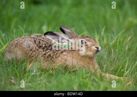 Brown Hare - (European Hare - leveret) / Lepus europaeus - Stock Photo