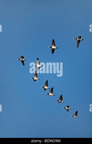 Weisswangengaense - Nonnengaense, Barnacle Goose (Branta leucopsis) - Stock Photo