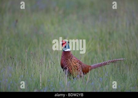 Game Pheasant - (male at mating season) / Phasianu - Stock Photo