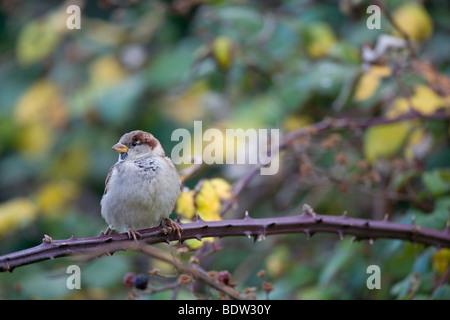 Haussperling - Jungvogel, House Sparrow - immature (Passer domesticus) - Stock Photo
