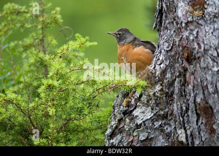 Wanderdrossel, American Robin (Turdus migratorius) - Stock Photo