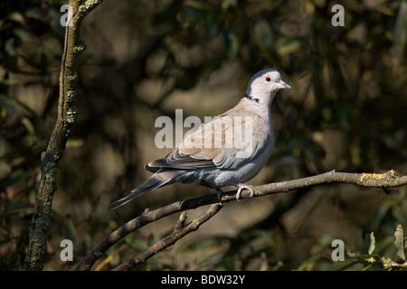 Tuerkentaube - Altvogel, Collared Dove - adult (Streptopelia decaocto) - Stock Photo
