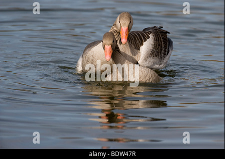 A greylag goose courting a potential partner - Stock Photo