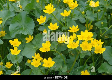 Marsh marigold or kingcups Caltha palustris. Wiltshire. April. - Stock Photo