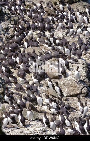 Common guillemots or common murres Uria aalge at breeding colony. Scotland. Stock Photo