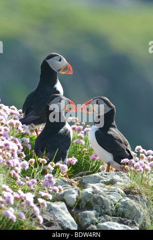Group of Atlantic puffins Fratercula arctica in thrift Armeria maritima. Scotland. - Stock Photo