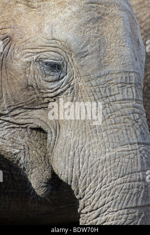 Close Up Of Eye And Trunk Of An African Elephant Loxodonta africana in Addo National Park, South Africa - Stock Photo