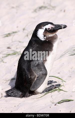 African Penguin Spheniscus demersus On Boulders Beach, Simonstown, South Africa - Stock Photo