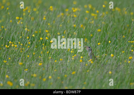 Corncrake Crex crex calling in hay meadow on island of South Uist, Western Isles, Scotland. - Stock Photo