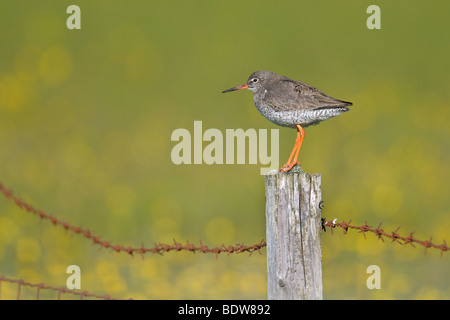 Common redshank Tringa totanus summer adult on isle of South Uist, Scotland. - Stock Photo