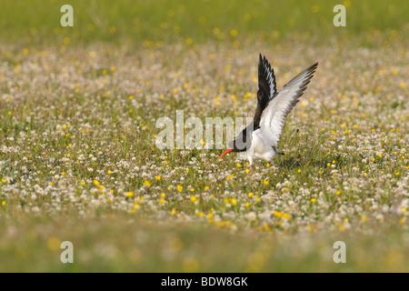 Oystercatcher Haematopus ostralegus in machair. Island of South Uist, Scotland. - Stock Photo
