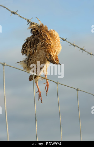 Quail Coturnix coturnix killed in collision with barbed wire fence. Island of South Uist, Western Isles, Scotland. - Stock Photo
