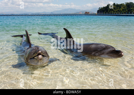 Two Bottlenose Dolphins (Tursiops truncatus), shallow water, Ocean Adventure, Subic Bay, Luzon, Philippines, South - Stock Photo