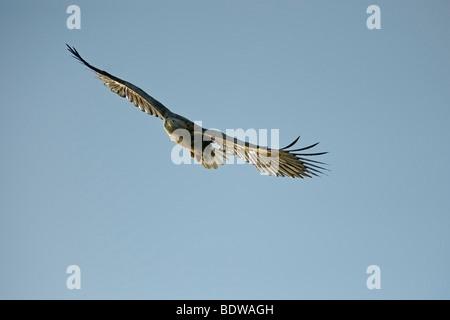 White-tailed sea eagle Haliaeetus albicilla adult in flight. Scotland. - Stock Photo